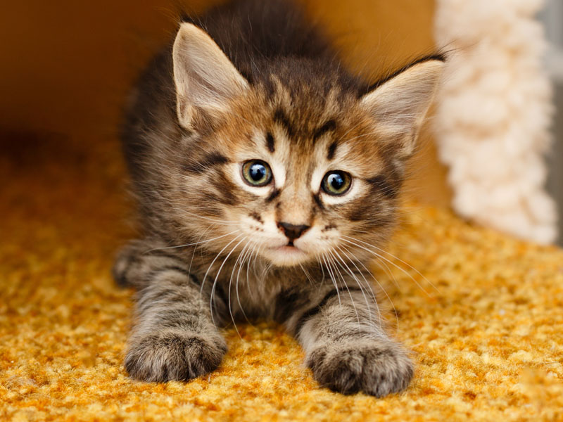 Kitten kneading