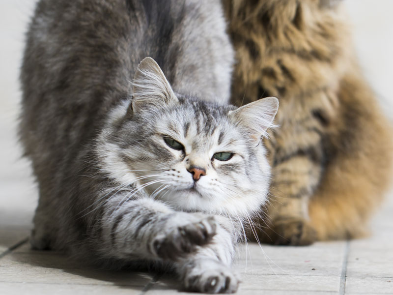 One cat stretching with second cat in background