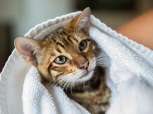 Cat wrapped up in a towel.