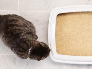 cat stands next to litter box