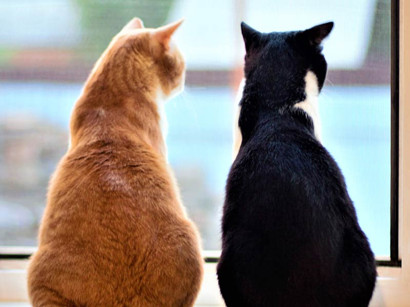 How to Introduce Cats to Each Other: 5. Leave them alone together Two cats standing together looking out window