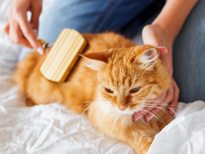 How to prevent hairballs: brush your cat daily. Person brushing cat.